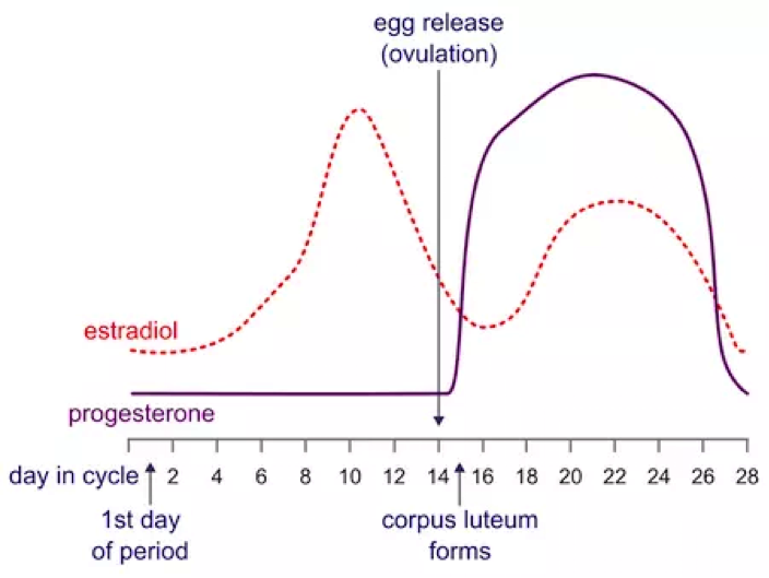 Graph of the menstrual cycle process