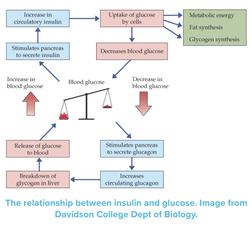 Graph explaining the glucose - insulin relationship/pathway