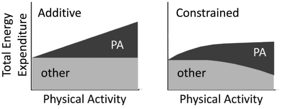 Schematic of Additive total energy expenditure and Constrained total energy expenditure models. Image from Pontzer et al., 2017